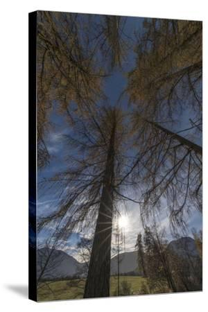 Photographed Larches in the Sunlight, Toward the Sky-Niki Haselwanter-Stretched Canvas Print