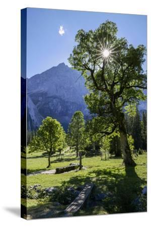 Small Ahornboden, Harewood in the Back Light in Front of Rauhkarlspitze, Karwendel, Tyrol-Rolf Roeckl-Stretched Canvas Print