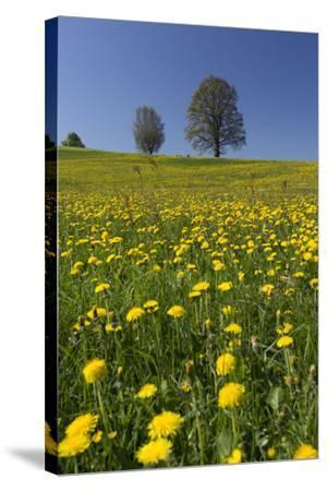 Blossoming Meadow, Spring, Tree, Blue Sky, Dandelion-Jurgen Ulmer-Stretched Canvas Print