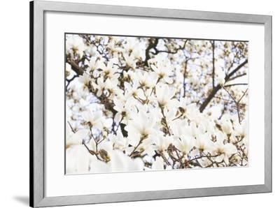 A White Magnolia Tree Magnoliaceae in Full Flowerage-Petra Daisenberger-Framed Photographic Print