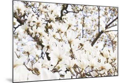 A White Magnolia Tree Magnoliaceae in Full Flowerage-Petra Daisenberger-Mounted Photographic Print