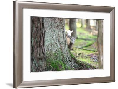 Wood, Mufflon, Ovis Ammon Musimon-Reiner Bernhardt-Framed Photographic Print