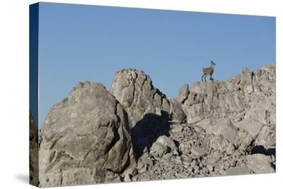 Capricorn on Rocky Ridge-Jurgen Ulmer-Stretched Canvas Print