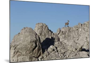 Capricorn on Rocky Ridge-Jurgen Ulmer-Mounted Photographic Print