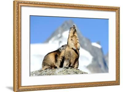 Rocks, Groundhog, Marmot-Reiner Bernhardt-Framed Photographic Print