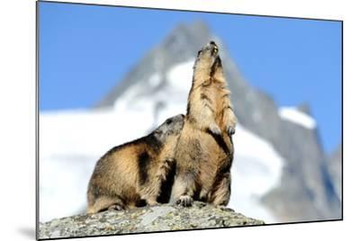 Rocks, Groundhog, Marmot-Reiner Bernhardt-Mounted Photographic Print