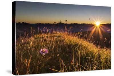 Flower, Aster, Meadow-Jurgen Ulmer-Stretched Canvas Print