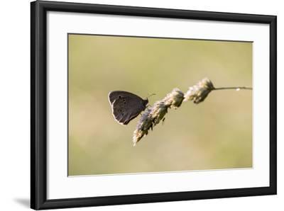 Ringlet Butterfly on a Blade of Grass-Jurgen Ulmer-Framed Photographic Print