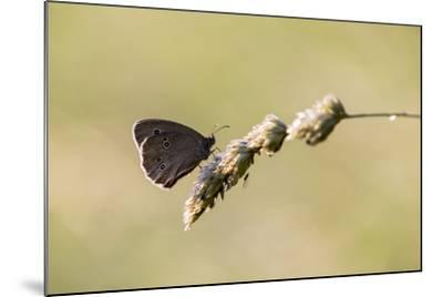 Ringlet Butterfly on a Blade of Grass-Jurgen Ulmer-Mounted Photographic Print