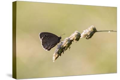 Ringlet Butterfly on a Blade of Grass-Jurgen Ulmer-Stretched Canvas Print