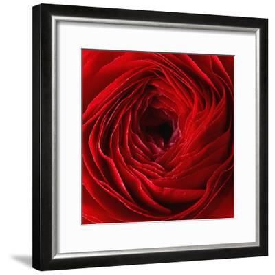 Red Ranunculus Flower-artjazz-Framed Photographic Print