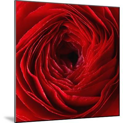 Red Ranunculus Flower-artjazz-Mounted Photographic Print