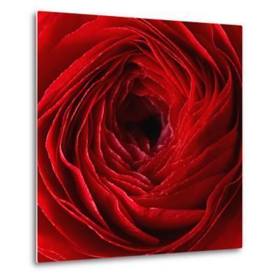 Red Ranunculus Flower-artjazz-Metal Print
