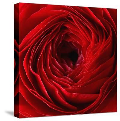 Red Ranunculus Flower-artjazz-Stretched Canvas Print