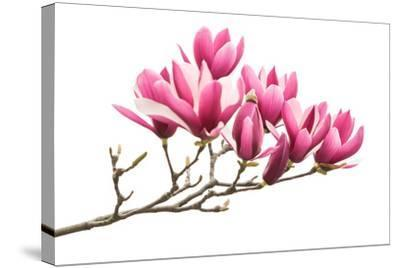 Magnolia Flower Spring Branch Isolated on White Background-kenny001-Stretched Canvas Print
