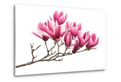 Magnolia Flower Spring Branch Isolated on White Background-kenny001-Metal Print