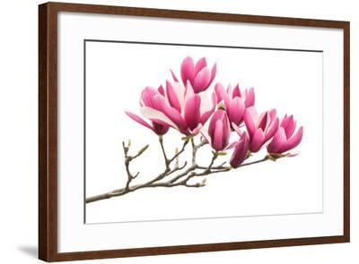 Magnolia Flower Spring Branch Isolated on White Background-kenny001-Framed Photographic Print