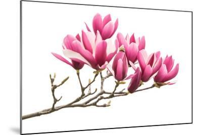 Magnolia Flower Spring Branch Isolated on White Background-kenny001-Mounted Photographic Print