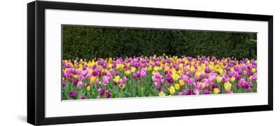 Tulip flowers in a garden, Chicago Botanic Garden, Glencoe, Cook County, Illinois, USA--Framed Photographic Print