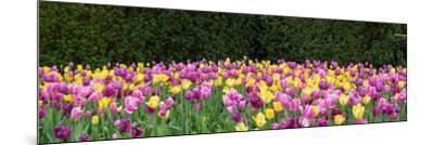 Tulip flowers in a garden, Chicago Botanic Garden, Glencoe, Cook County, Illinois, USA--Mounted Photographic Print