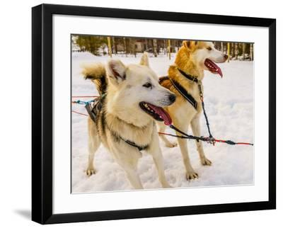 Husky sled dogs, Lapland, Finland--Framed Photographic Print