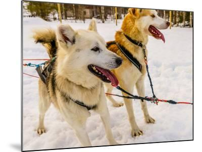 Husky sled dogs, Lapland, Finland--Mounted Photographic Print