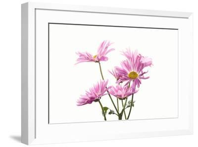Mums flowers against white background--Framed Photographic Print