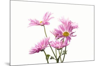 Mums flowers against white background--Mounted Photographic Print