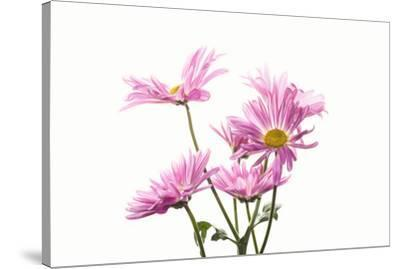 Mums flowers against white background--Stretched Canvas Print
