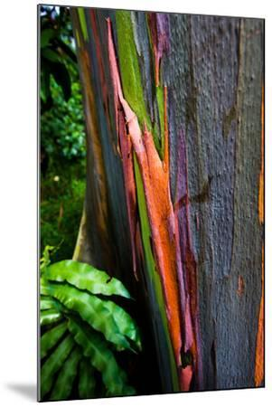 Close-up of Rainbow Eucalyptus (Eucalyptus deglupta) tree, Maui, Hawaii, USA--Mounted Photographic Print