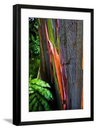 Close-up of Rainbow Eucalyptus (Eucalyptus deglupta) tree, Maui, Hawaii, USA--Framed Photographic Print