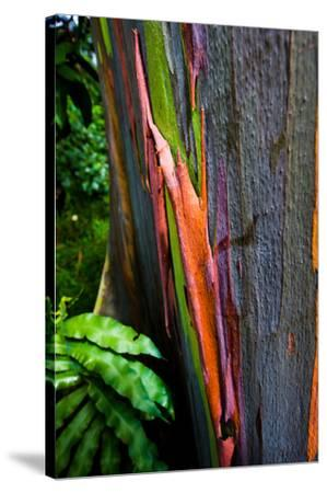 Close-up of Rainbow Eucalyptus (Eucalyptus deglupta) tree, Maui, Hawaii, USA--Stretched Canvas Print