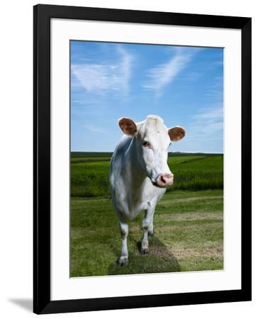 White Dairy Cow, Iceland--Framed Photographic Print