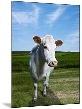 White Dairy Cow, Iceland--Mounted Photographic Print