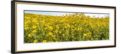 Wildflowers in a field, Carrizo Plain, Carrizo Plain National Monument, Temblor Range, San Luis...--Framed Photographic Print