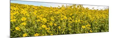 Wildflowers in a field, Carrizo Plain, Carrizo Plain National Monument, Temblor Range, San Luis...--Mounted Photographic Print