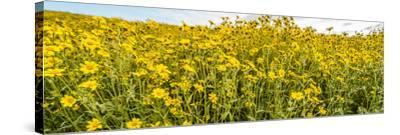 Wildflowers in a field, Carrizo Plain, Carrizo Plain National Monument, Temblor Range, San Luis...--Stretched Canvas Print