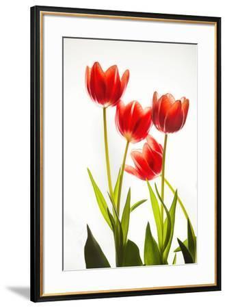 Backlit Tulip flowers against white background--Framed Photographic Print