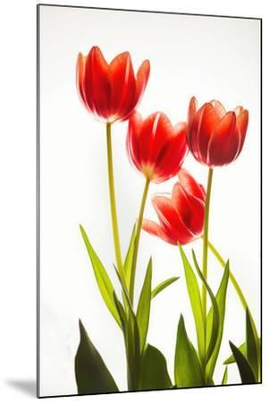 Backlit Tulip flowers against white background--Mounted Photographic Print
