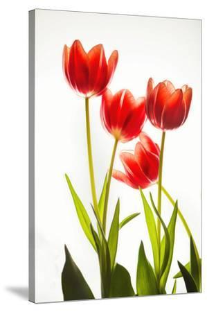 Backlit Tulip flowers against white background--Stretched Canvas Print