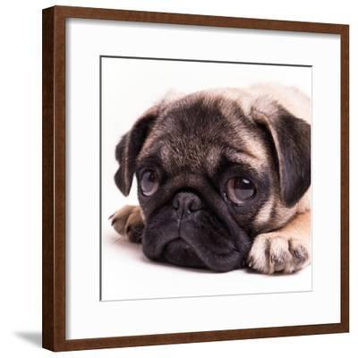 Sad Sack Pug-Edward M. Fielding-Framed Photographic Print