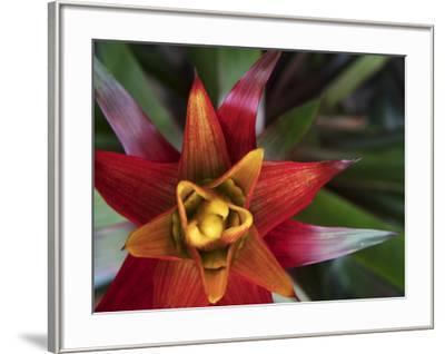Bromeliad Burst II-Jason Johnson-Framed Photographic Print