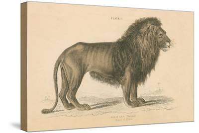 Vintage Lion-Wild Apple Portfolio-Stretched Canvas Print