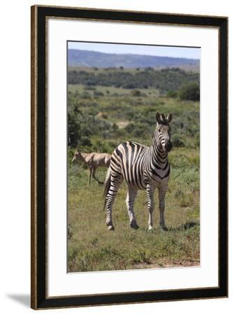 A21C1888Zebra - Burchells-Bob Langrish-Framed Giclee Print