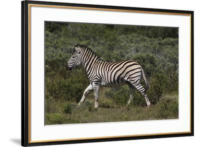 A21C1868Zebra - Burchells-Bob Langrish-Framed Giclee Print