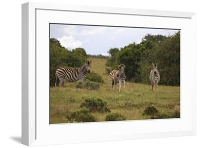 A21C1199Zebra - Burchells-Bob Langrish-Framed Giclee Print