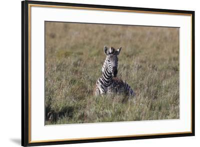 AV4C6611Zebra - Burchells-Bob Langrish-Framed Giclee Print