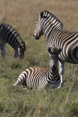 AV4C6623Zebra - Burchells-Bob Langrish-Stretched Canvas Print