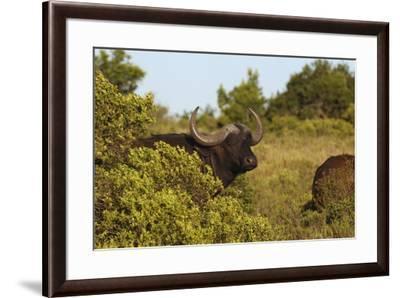 CQ2R6880Cape Buffalo-Bob Langrish-Framed Giclee Print