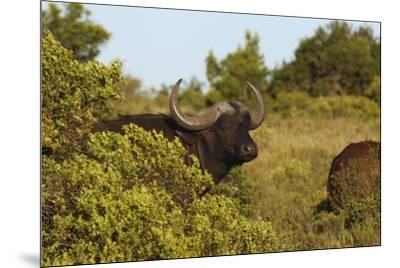 CQ2R6880Cape Buffalo-Bob Langrish-Mounted Giclee Print